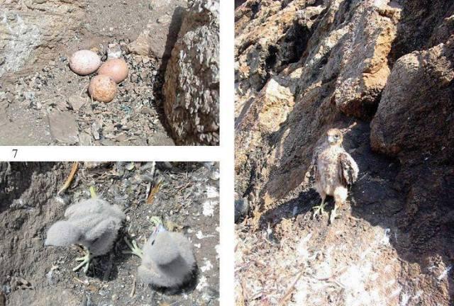 Colony of Falco eleonorae, Sérigina island, Algeria
