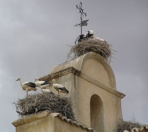 Nests of White Storks (Ciconia ciconia)