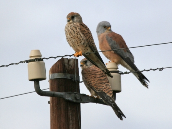 Male and female Lesser Kestrels (Falco naumanni)