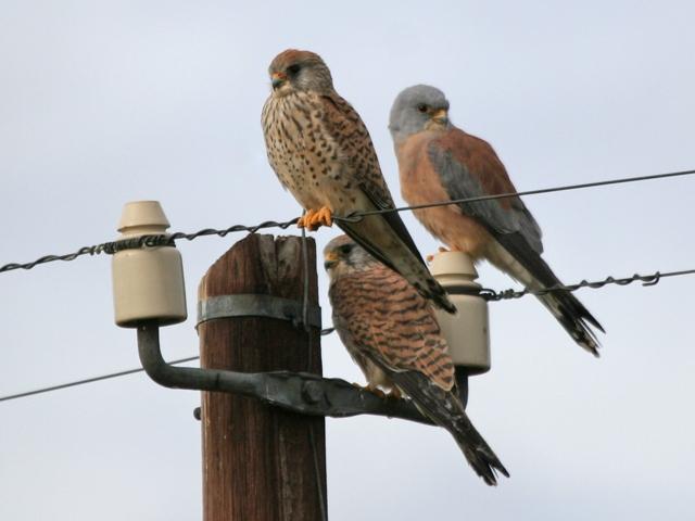Male and female Lesser Kestrels (Falco naumanni)