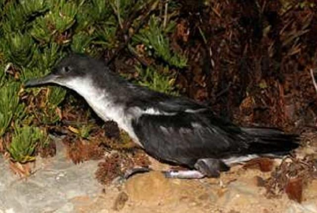 Yelkouan Shearwaters (Puffinus yelkouan) ringed and released at the entry of its burrow, Zembra, Tunisia
