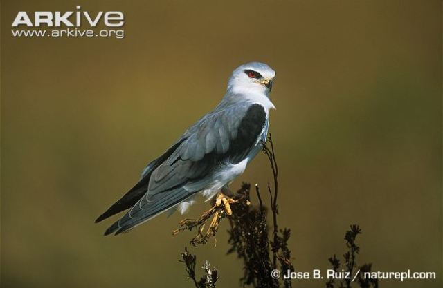 Diet of Black-shouldered Kite (Elanus caeruleus) in a farmland area near Algiers, Algeria