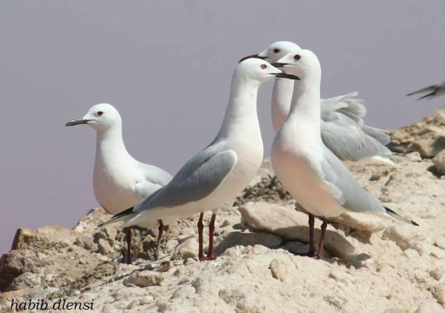 Goéland railleur (Chroicocephalus genei), Salines de Thyna, Sfax, Tunisie