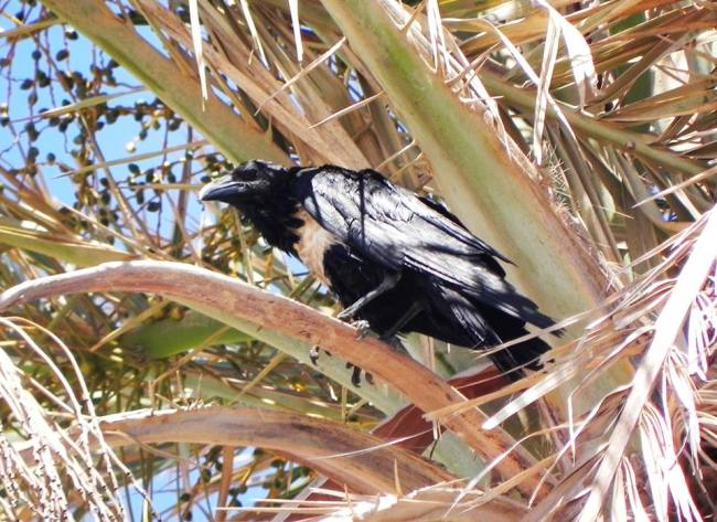 Pied Crow (Corvus albus), Tajura, western Libya.