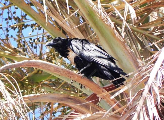 Pied Crow (Corvus albus) at Tajura near Tripoli, western Libya