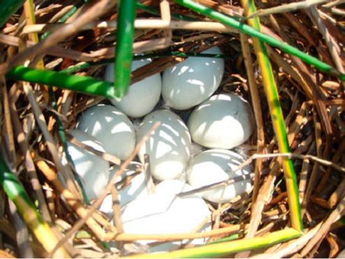 Nest of the White-headed Duck (Oxyura leucocephala) containing nine eggs