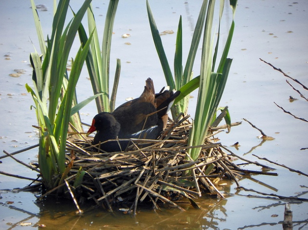 Moorhen (Gallinula chloropus) in its nest