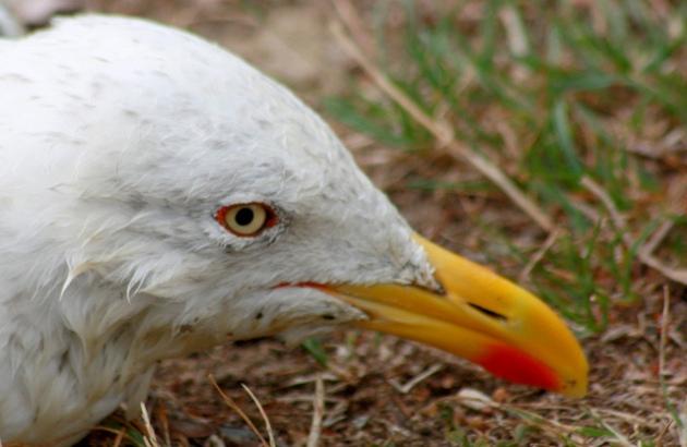 Morphometric sexing of Mediterranean Yellow-legged Gulls in Gabès, Tunisia