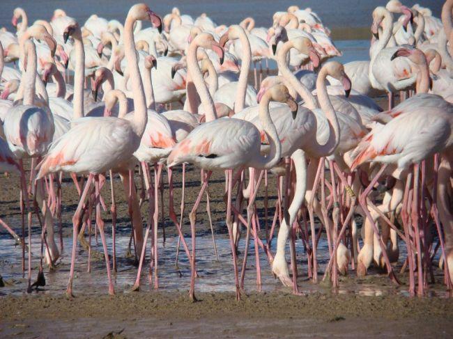 Greater Flamingo (Phoenicopterus roseus), Oum el-Bouaghi