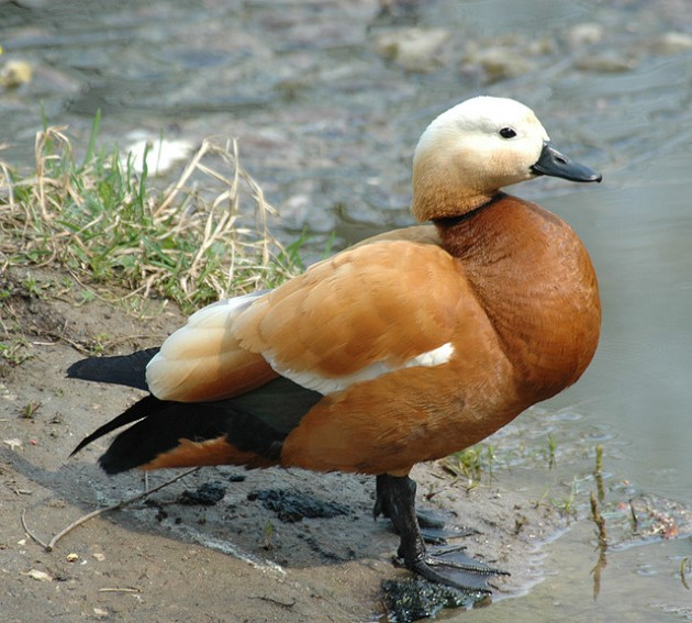 Ruddy Shelduck Tadorna ferruginea (Sergey Yeliseev, license CC-by-nc-nd)