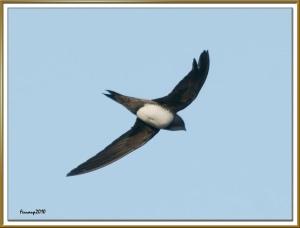 Alpine Swift (Tachymarptis melba)