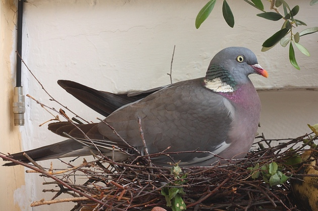 Woodpigeon (Columba palumbus) on nest