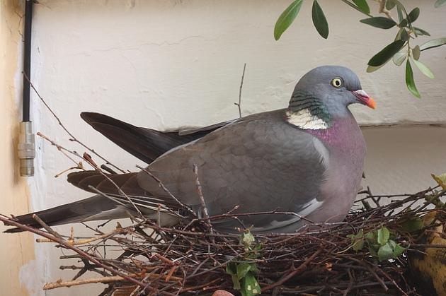Woodpigeon (Columba palumbus) on nest
