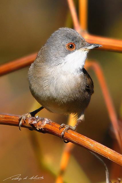 Western Subalpine Warbler (Sylvia inornata iberiae)