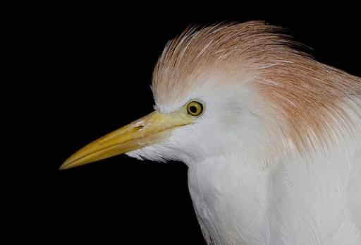 Héron garde-bœufs (Bubulcus ibis)