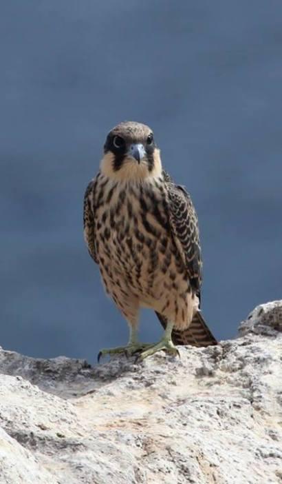 Eleonora's Falcon (Falco eleonorae)