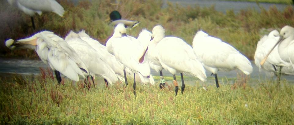 Colour-ringed Eurasian Spoonbills recovered at Lake of Tunis, ZS is a Hungarian bird, the other from Serbia.