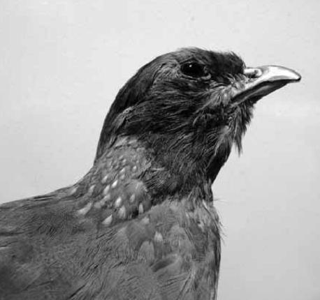 Cyrenaic Partridge (Alectoris barbara barbata)