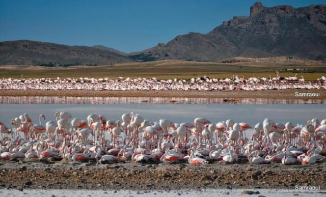 Views of the Greater Flamingo (Phoenicopterus roseus) colony at Ezzemoul, Hauts Plateaux, northeast Algeria