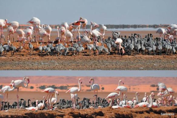 Views of the Greater Flamingo (Phoenicopterus roseus) colony at Safioune, north-eastern Algerian Sahara