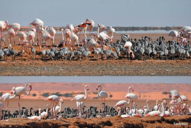 Views of the Greater Flamingo colony at Safioune, north-eastern Algerian Sahara