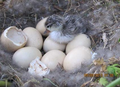 Chicks of the Marbled Duck (Marmaronetta angustirostris) after hatching
