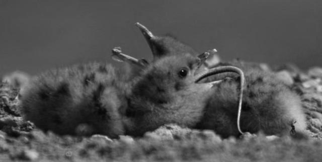 Poussin de la Sterne hansel (Gelochelidon nilotica )en train d'avaler un Acanthodactyle