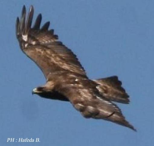 Caract risation de la faune ornithologique des monts de l - Comment dessiner un aigle royal ...