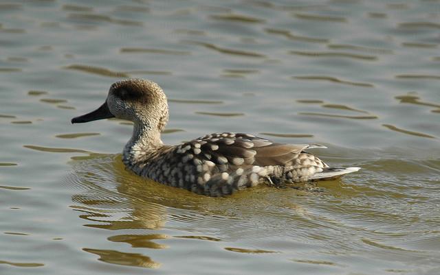 Marbled Duck (Marmaronetta angustirostris)