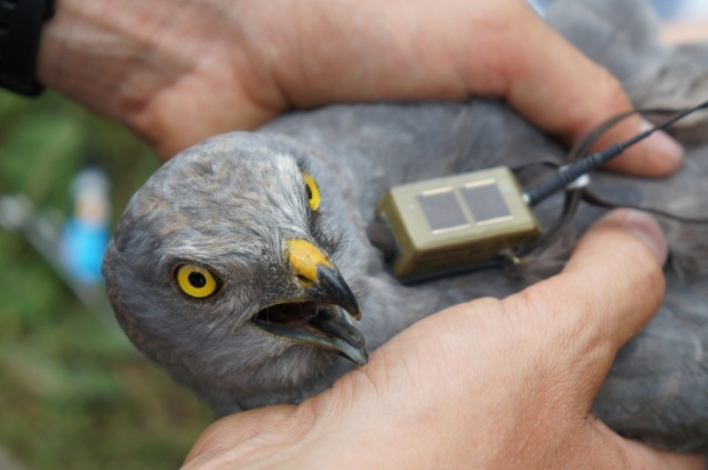 A male Montagu's Harrier (Circus pygargus) is being fitted with a satellite transmitter. Sødernes (DK), July 2011. Picture by Henning Heldbjerg
