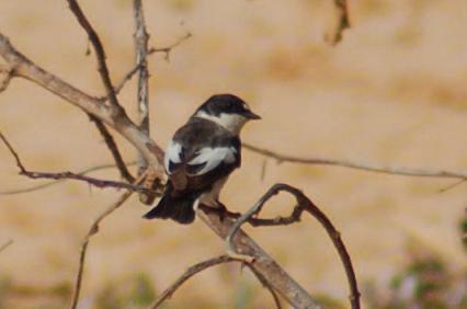 Semi-collared Flycatcher (Ficedula semitorquata), Sebkhet Hasila, Libya