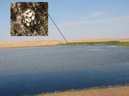 Marbled Teal (Marmaronetta angustirostris) nest with 10 eggs in El Hamraia chott, Oued Righ wetland complex, 2 June 2010.