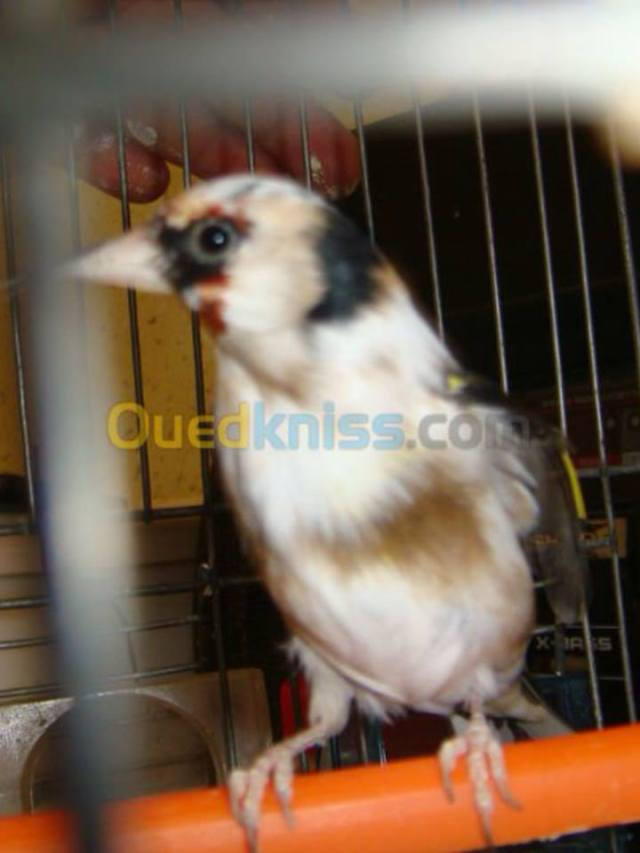 Chardonneret élégant (Carduelis carduelis - European Goldfinch) : espèce en danger en Algérie