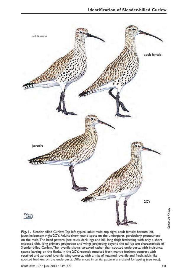 Identification of the Slender-billed Curlew (Szabolcs Kókay/ British Birds, 2014)