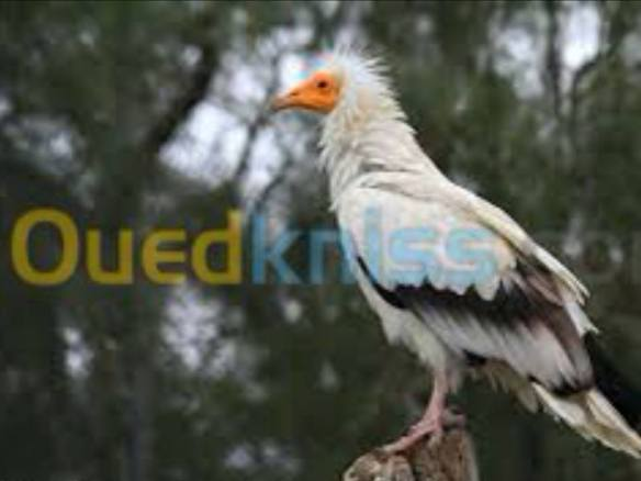 """Vautour percnoptère (Neophron percnopterus - Egyptian Vulture) : espèce classée comme """"en danger d'extinction"""" (EN) sur la Liste rouge de l'UICN et inscrite à l'Annexe II de la CITES."""