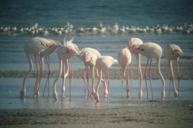 Flamant roses - Phoenicopterus roseus - Greater Flamingos