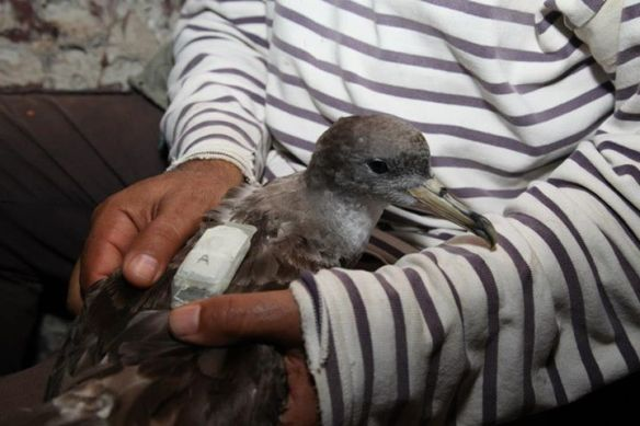 Ringing and tagging with a GPS mounted on TDR of Scopoli's Shearwater (Calonectris diomedea), Zembra Archipelago, Tunisia