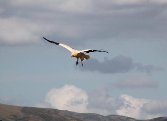 Egyptian Vulture (Neophron percnopterus), Algeria