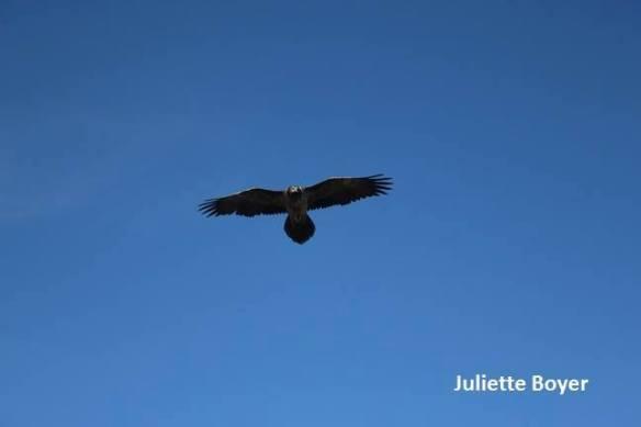Bearded Vulture (Gypaetus barbatus) juvenile, Hight Atlas, Morocco