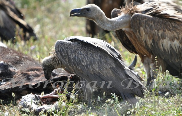 White-backed Vulture (Gyps africanus) and Griffon Vulture (Gyps fulvus), Tétouan, Morocco