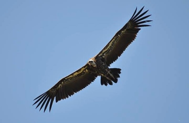 Rüppell's Vulture (Gyps rueppellii), Jbel Moussa, Morocco