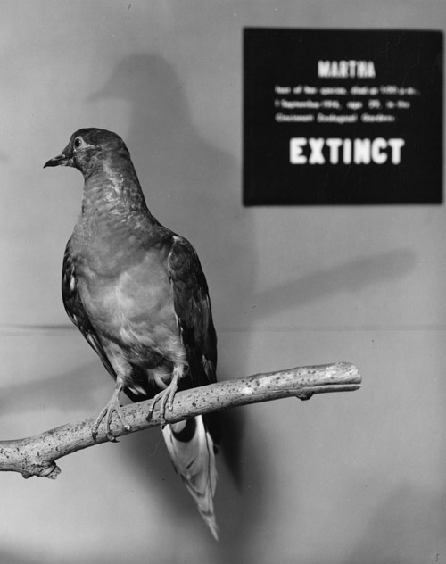 Martha, The Last Passenger Pigeon. Image from Smithsonian Institution Archives