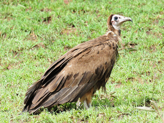 Hooded Vulture (Necrosyrtes monachus), Northern Serengeti, Tanzania