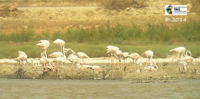 Greater Flamingo (Phoenicopterus roseus), Cap Bon (Tunisia) 2014. Photo: Tunisia Wildlife Conservation Society (TWCS)