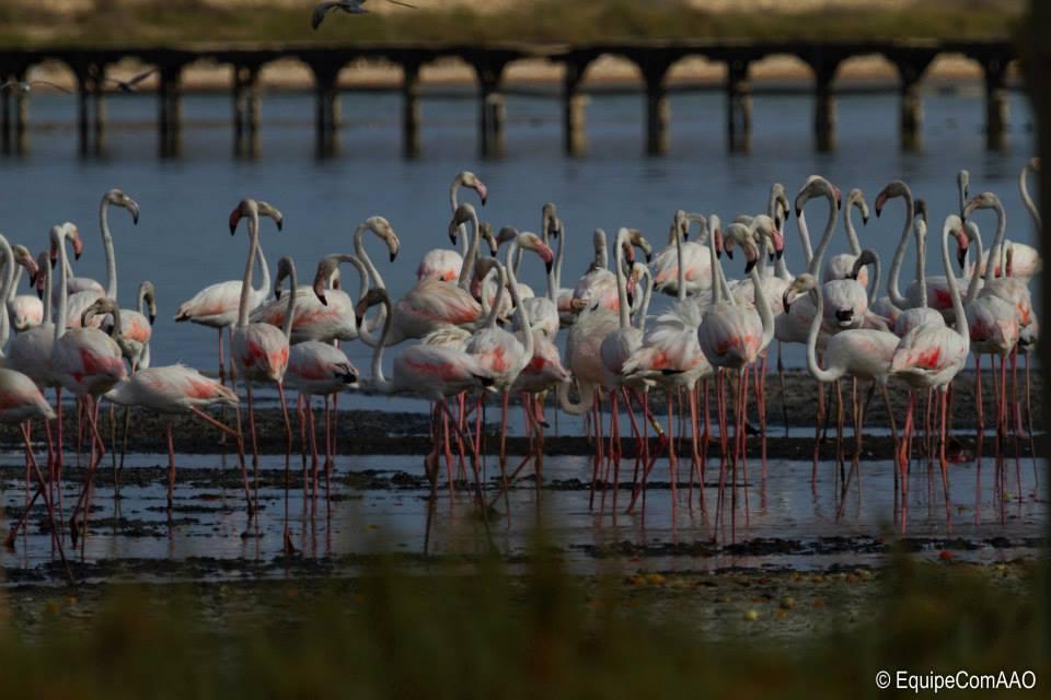 "Greater Flamingo (Phoenicopterus roseus) at the lagoon of Korba, Cap Bon (Tunisia), 10 August 2014. Photo: Association ""Les Amis des Oiseaux"" (AAO)"