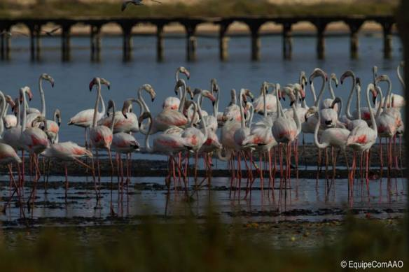 "Greater Flamingo (Phoenicopterus roseus) at the lagoon of Korba, Cap Bon (Tunisia), 10 August 2014. Photo: Association ""Les Amis des Oiseaux"" (AAO)"