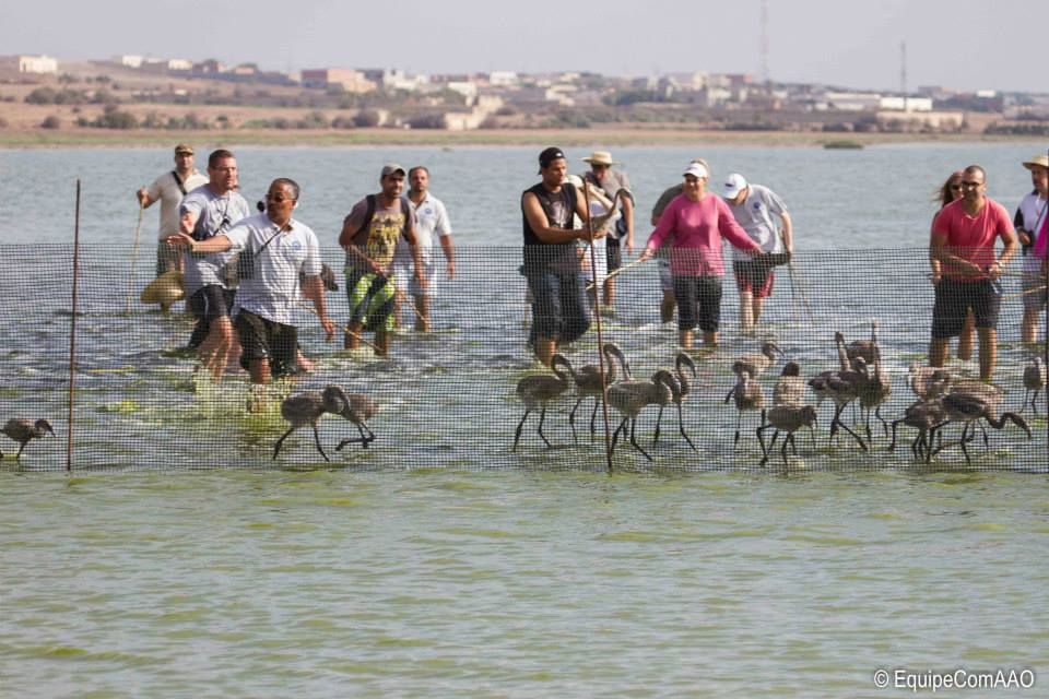 "Ringing operation of Greater Flamingo at lagoon of Korba, Cap Bon (Tunisia), 10 August 2014. Photo: Association ""Les Amis des Oiseaux"" (AAO)"