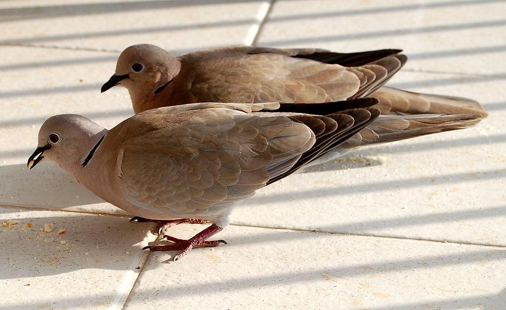 Tourterelle turque - Collared Dove (Streptopelia decaocto)