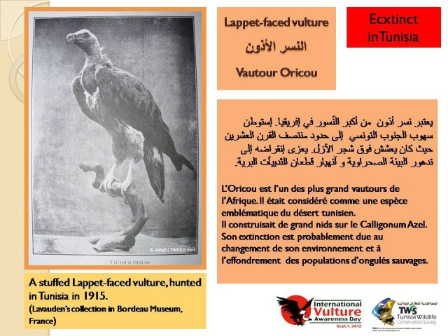 Lappet-faced Vulture (Torgos tracheliotos) hunted in Tunisia