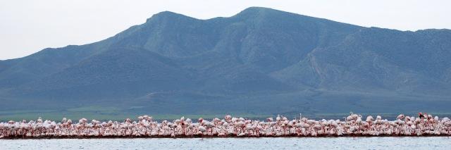 Greater Flamingo (Phoenicopterus roseus) colony at Ezzemoul, Hauts Plateaux, northeast Algeria (Boudjéma Samraoui)